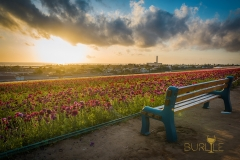 carlsbad-flower-fields-